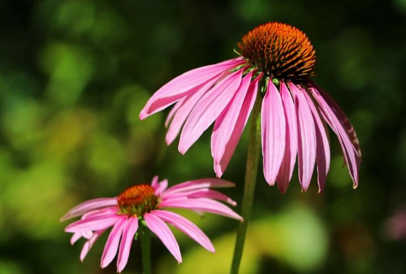 Coneflower flower